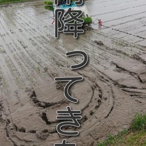 【稲作日記】今年度 最後の田植えは、雨