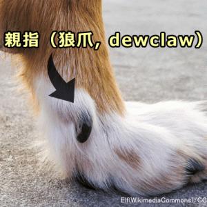 犬の親指(狼爪=ろうそう)