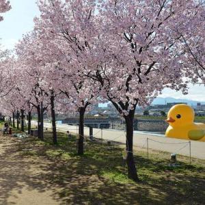 狭山池の桜とダックちゃん