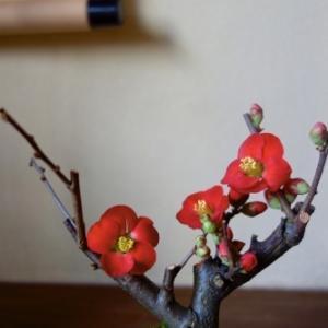 冬を楽しむ ー 木瓜のミニ盆栽