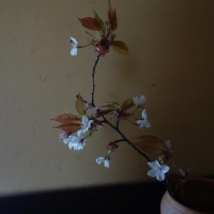 山桜の美しさ