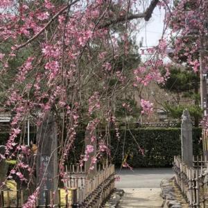 椿から一気に桜の季節に