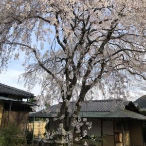 桜の樹の下で篠笛の音色