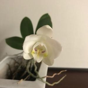 胡蝶蘭10度目の開花