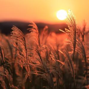 ススキと夕日