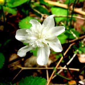 <キクザキイチゲ(菊咲一華)> はかなく可憐な春告げ花