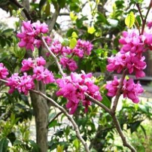 <ハナズオウ(花蘇芳・紫荊)> 紅紫の小花が群れ咲いて