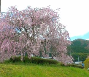 満開の枝垂れ桜の傍らを駆け抜ける京都丹後鉄道(丹鉄)KTR8000形丹後の海