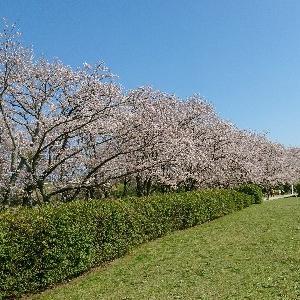 宮川の桜♪