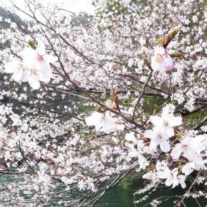 桜の便りと4月の診療日のお知らせ【京都府 宇治市 いちのさか動物病院】