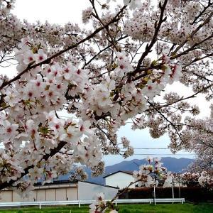 桜🌸満開ですね😃