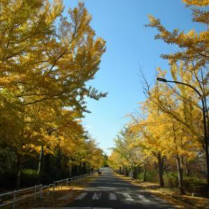 銀杏並木黄葉、他 大阪府立環境農林水産研究所