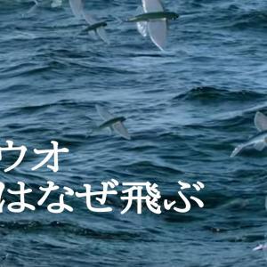 トビウオ ~海と空を駆けるベイト~