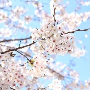桜・2020