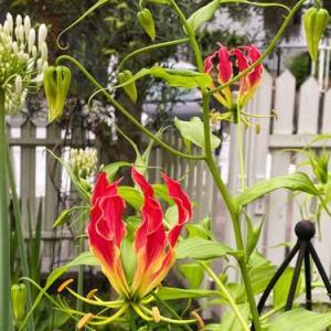 グロリオーサ開花 &エキナセアが見ごろ