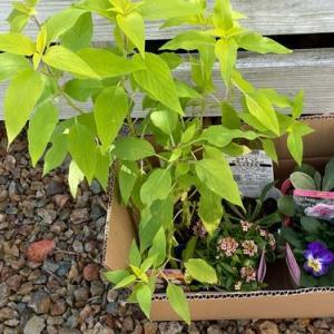春を楽しみに 苗を植えた