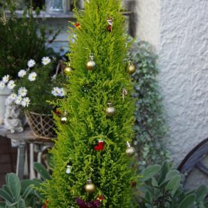 去年のコニファーでクリスマスツリー & クリスマスローズに蕾 第一号