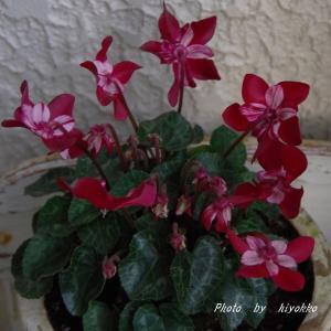 兎に角お花咲かせたがるコリウス & ちょっと早めのサイネリア