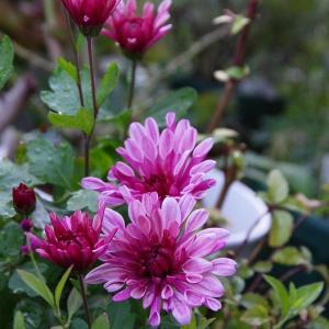 素敵な花色♡ グリサンセマム & パンジー & 嬉しいお届け物♪