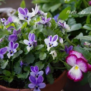 パルマスミレの花と蕾 & あわてんぼうのヒヤシンスは更に( *´艸`)pp