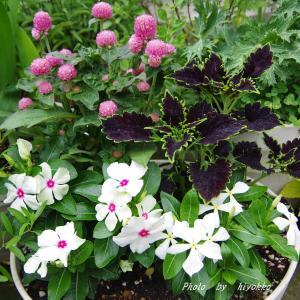 花たちの成長を喜びながらも まさかのチビチビバッタには(ノД`)・゜・。