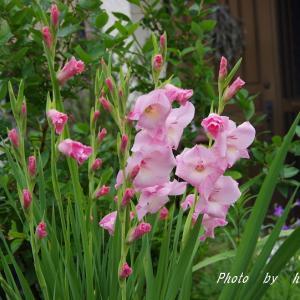 グラジオラスは 第2弾 淡いピンク色のが開花♪