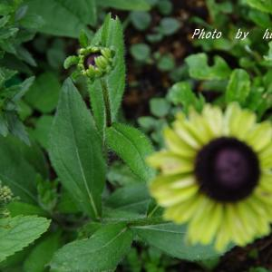 ヤブランの 可愛い花と・・・・・