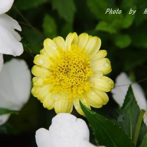 久々に ボリジの花を楽しめそう♪