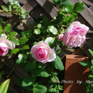 朝の日差しの中で…バラ・クレマチス・オルレア・オーソニガラム…etc.(*^-^*)♪