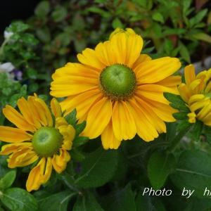 連日続く雨の中で・・・ 雨の中 モンシロチョウも 忙しそうに…花の蜜を♡