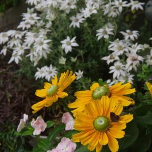 暫し雨の無い時間を楽しめて♪ ガウラが ルドベキアが・・・綺麗でした♡