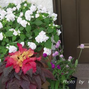 花苗 & 我が家の庭にも ヤノネボンテンカの季節が遣ってきたようです(#^.^#)♪