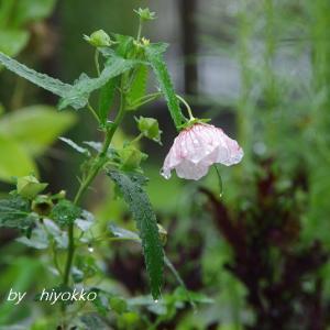 昨日 初咲きのヤノネボンテンカは 今日はもう ネジリン棒です(*^-^*)