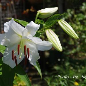 待ってました! やとこさ~カサブランカの開花です♪