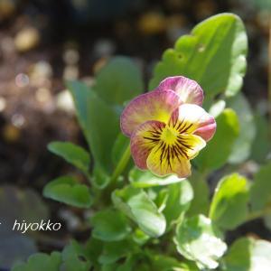 こぼれ種育ちの花たちも 逞しく咲いてます(*^-^*)vアリガトネ♡