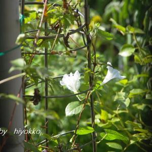 白い花 スプリッドペタル ピラミッドアジサイ スカビオサ