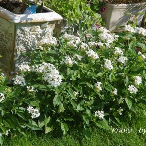 白花のスプリットペタルの不思議 & ハロウィンの寄せ植え('◇')ゞ
