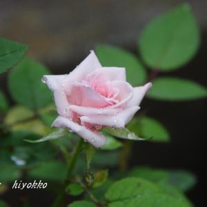 ミニバラの開花 ケロちゃん1号2号3号