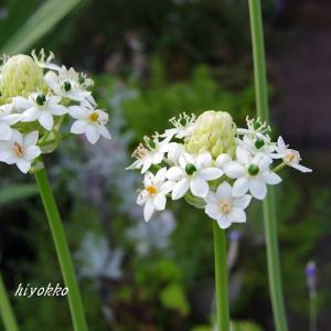 オーソニガラム・ソーンデルシーは 可愛いお花♡
