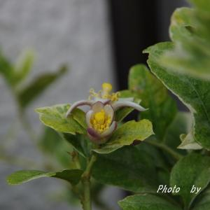 期待膨らむレモンの花と ブルースターの鞘が弾けて 種がフワリ♪
