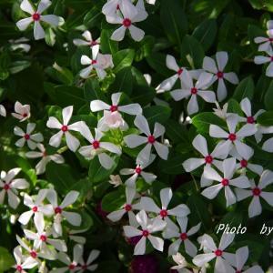暑いの大好きニチニチソウ、ルドベキア・・・尊敬するよ! & ミョウガの花が咲いたよ