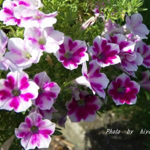 色は寂しいけどサフィニアアート&白花のブラキカム