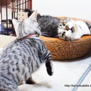 遊びたい子猫と遊ばれたくない大人猫