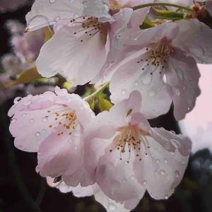 桜🌸の美しさ