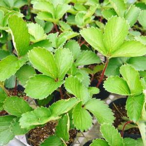 完熟紅ほっぺ 定植に向け現在の栽培ハウスと元気な苗床の様子!今年もこだわりの減農薬栽培で育てます!