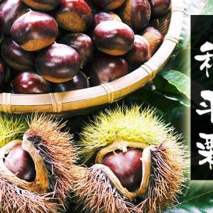 栗の王様「利平栗」 令和元年度の出荷を日々行っています!無農薬・無化学肥料で育てた朝採り利平栗です!