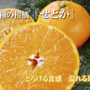 究極の柑橘「せとか」 令和3年の出荷は2月中旬からの予定です!収穫1ヶ月前の様子を現地取材!