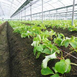 熊本限定栽培品種のイチゴ『熊紅(ゆうべに)』定植後の様子 令和元年度は12月上旬から出荷予定!