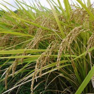 菊池水源棚田米 まもなく稲刈りです!花から実りへ!今年も順調に育っていたのですが・・・