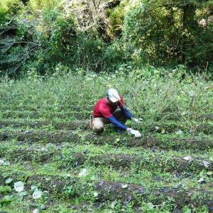 無農薬・無化学肥料で育てる「菊池水源産エゴマ」 令和元年度の『白エゴマ』を収穫しました!
